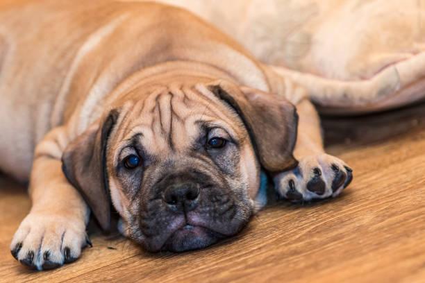 cucciolo di cane parquet